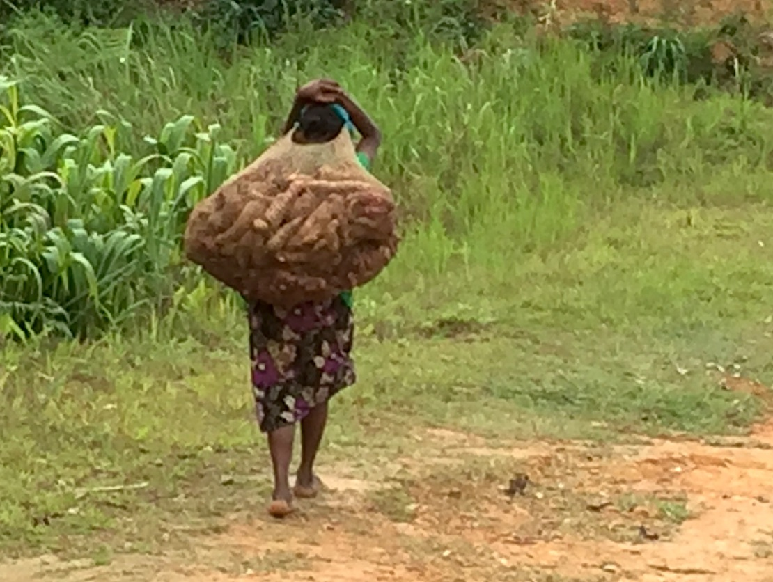 "A teen girl carries a week's worth of sweet potatoes (kaukau...in Kamea, ""hope'a""). (Oct. 2015)"